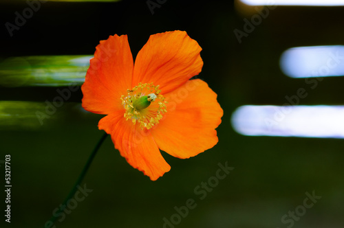 Eschscholzia californica poppy wild flower head 01