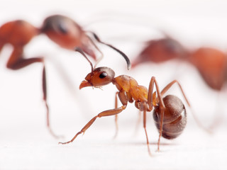 little ant formica rufa and big ones at background