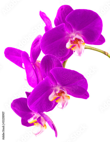 orchid e phalaenopsis by unclesam royalty free stock. Black Bedroom Furniture Sets. Home Design Ideas