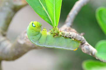 Caterpillar holding on branch