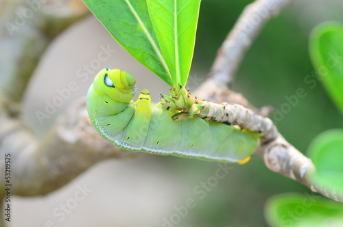 Caterpillar holding on branch