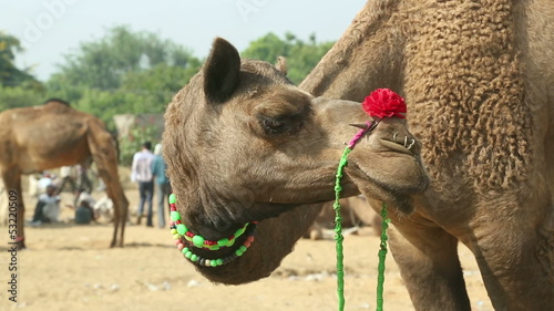 Camel with decorations at the Pushkar camel fair. India