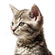 little kitten - portrait