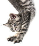 little kittenplaying on a white background