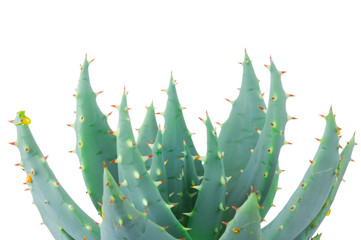 Aloe isolated on white background