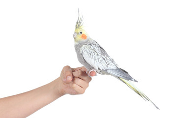 Profile of a woman hand holding a beautiful cockatiel bird