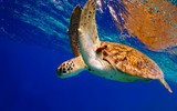 Green Sea Turtle descending after taking a breath
