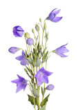 Fototapety Flowers, buds and leaves of balloon flower on white