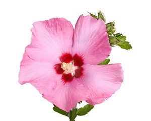 Flower and buds of Rose of Sharon on white