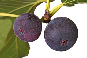 Two ripe figs on a tree