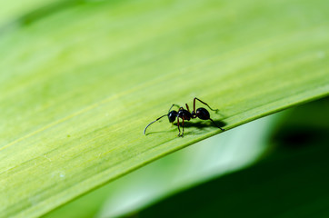 close-up shot of a Black ant