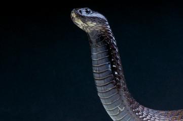 Cobra / Naja legionis