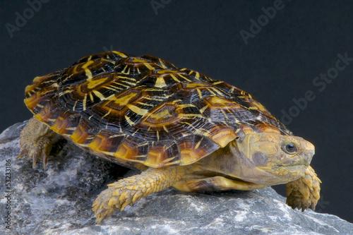 Pancake tortoise / Malacochersus tornieri