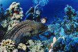 SUDAN, Red Sea, tropical moray eel  and scuba diver