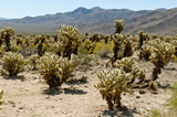 Cholla - Garden, Joshua Tree Nationalpark