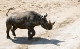 Rhinoceros is angry and prepeared for attack