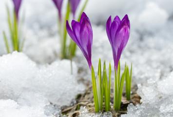 Blossom crocuses