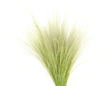 Fototapety Feather Grass or Needle Grass, Nassella tenuissima isolated