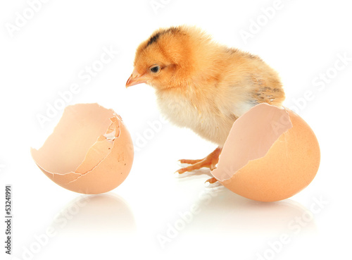 Little chicken with eggshell isolated on white