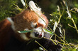 Red panda eating bamboo