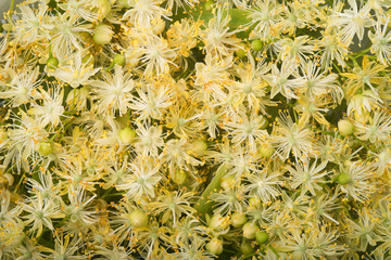 Linden flowers - background