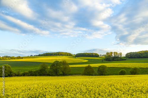 rape field under blue sky