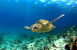 canvas print picture - Green sea turtle swimming underwater
