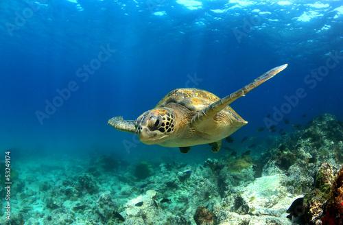 canvas print picture Green sea turtle swimming underwater
