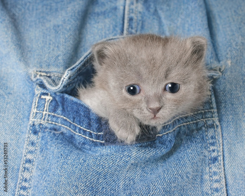 Small gray kitten in Jeans pocket