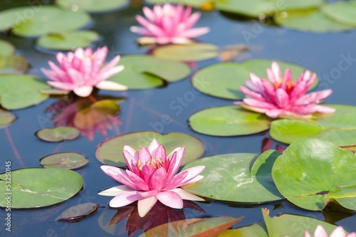 Lotus in the pond