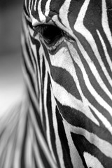 Monochromatic zebra skin texture © frank11