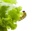Caterpillar climbing on lettuce