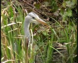 Grey Heron Hunting Fish