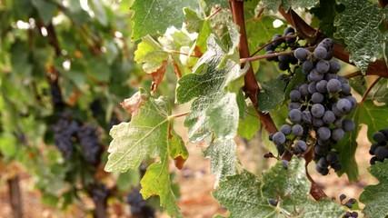 спелый виноград крупным планом