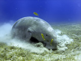 Isolated Dugongo Sea Cow while digging sand for food