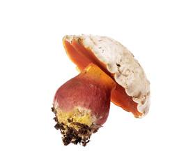 Boletus satanas Devil's bolete mushroom of white
