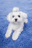 Little cute white Maltese puppy