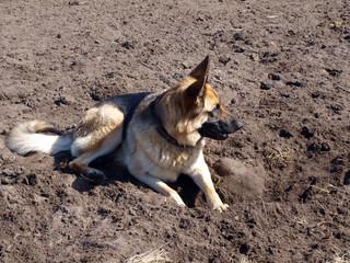 Dog digger