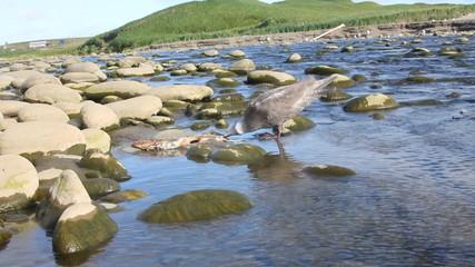 seagull eats a salmon