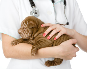 Close up puppy sharpei dog on hands at the veterinarian.