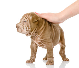female hand patting sharpei puppy dog. isolated on white