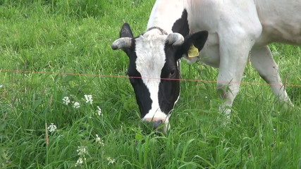 cow  eating green grass on farm field