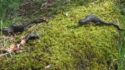 two Great Crested Newt (Triturus cristatus) on  spring moss