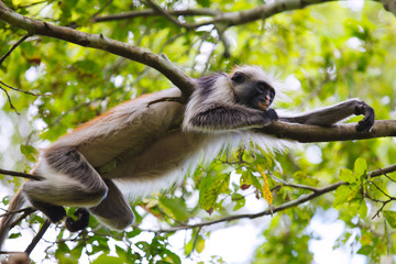 red colobus monkey sleeping