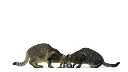 Two cats eating in a bowl