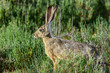 black-tailed jackrabbit, don edwards nwr, ca