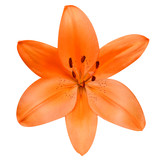 Open Orange Lily Flower Isolated on White Background