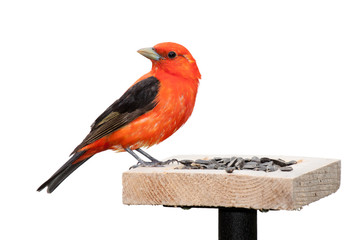 Tanager and Sunflower Seeds