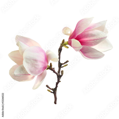 decoration of magnolia