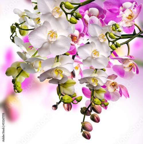 Fototapeten,orchidee,orchidee,phalenopsis,rosa